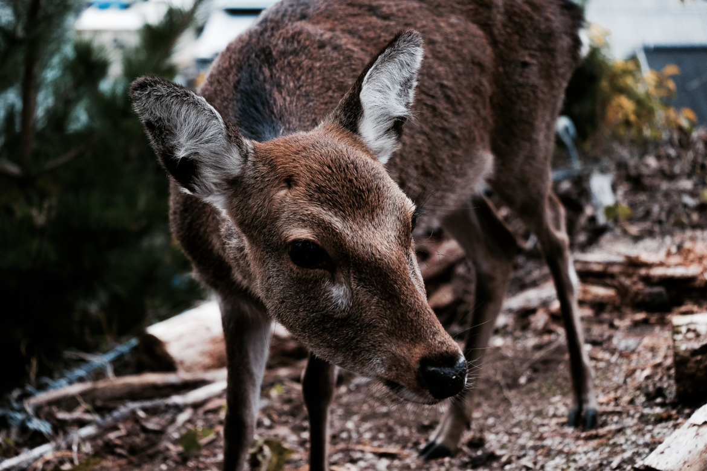 Japan hiking island near Hiroshima deer