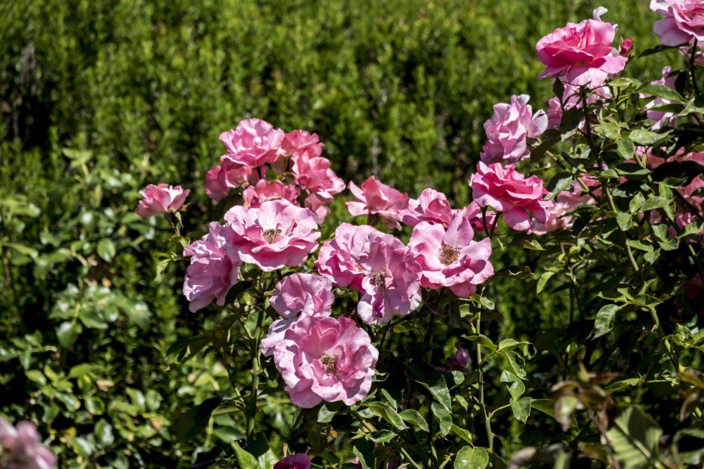 New Zealand Roses