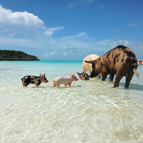 Bahama's pig