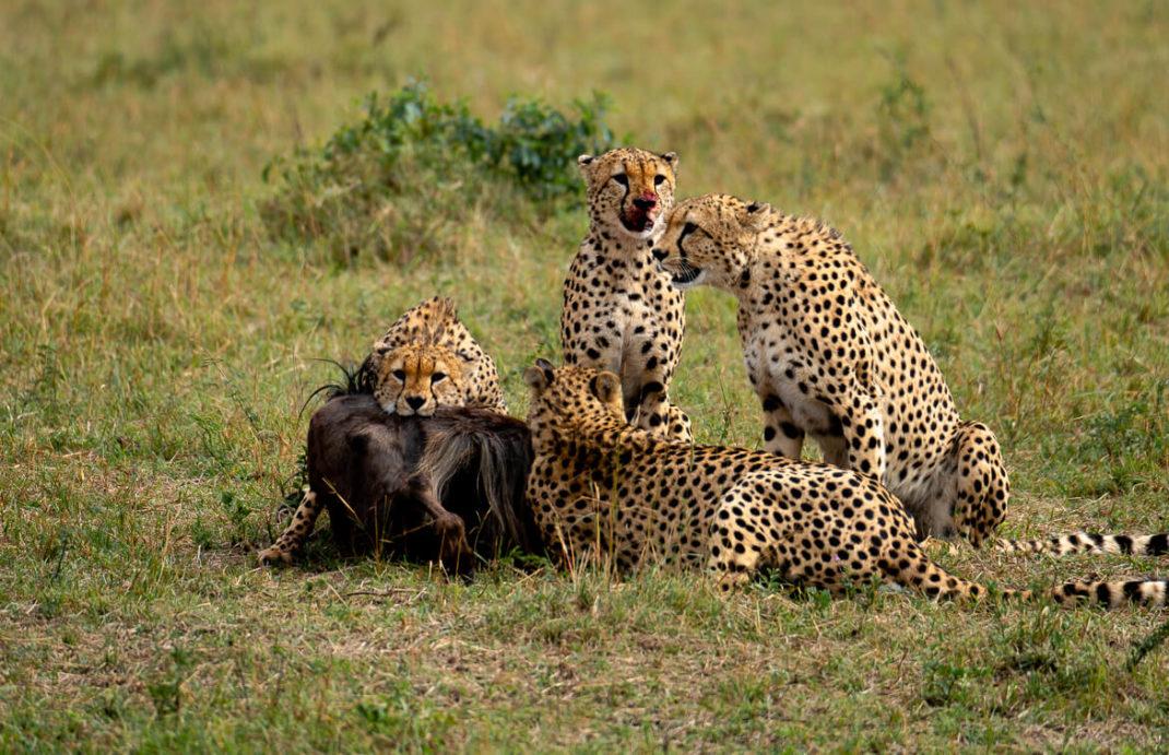 Maasai Mara Migration Wildebeest Kenya Safari Cheetah