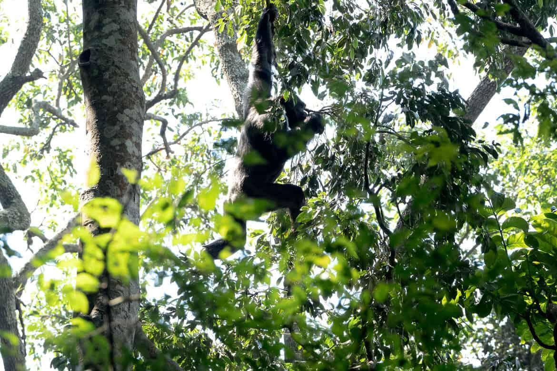 Chimpansee trekking Kibale Forest Uganda