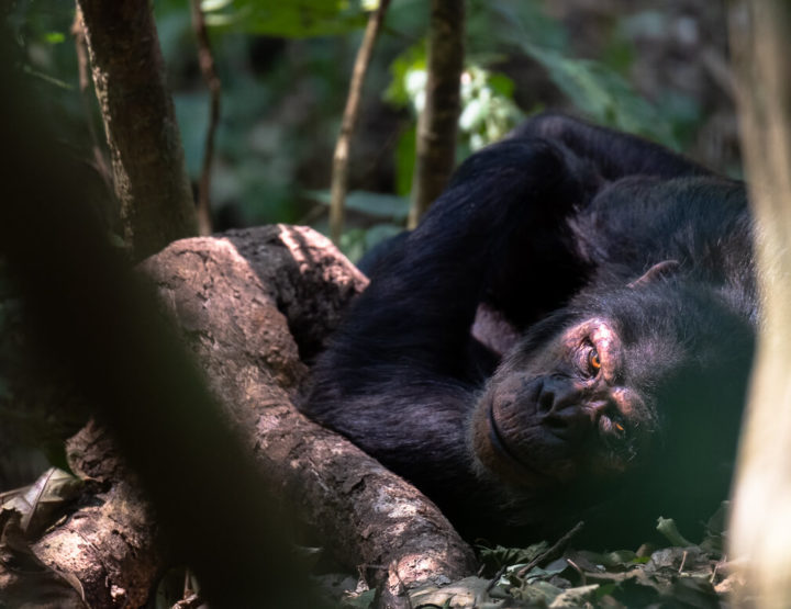 MUST DO: Een chimpansee trekking in het Nyungwe Forest in Rwanda!