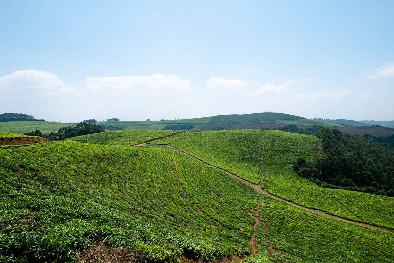 Tea plantation Rwanda