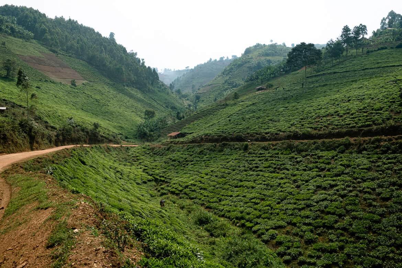 Rwanda tea fields