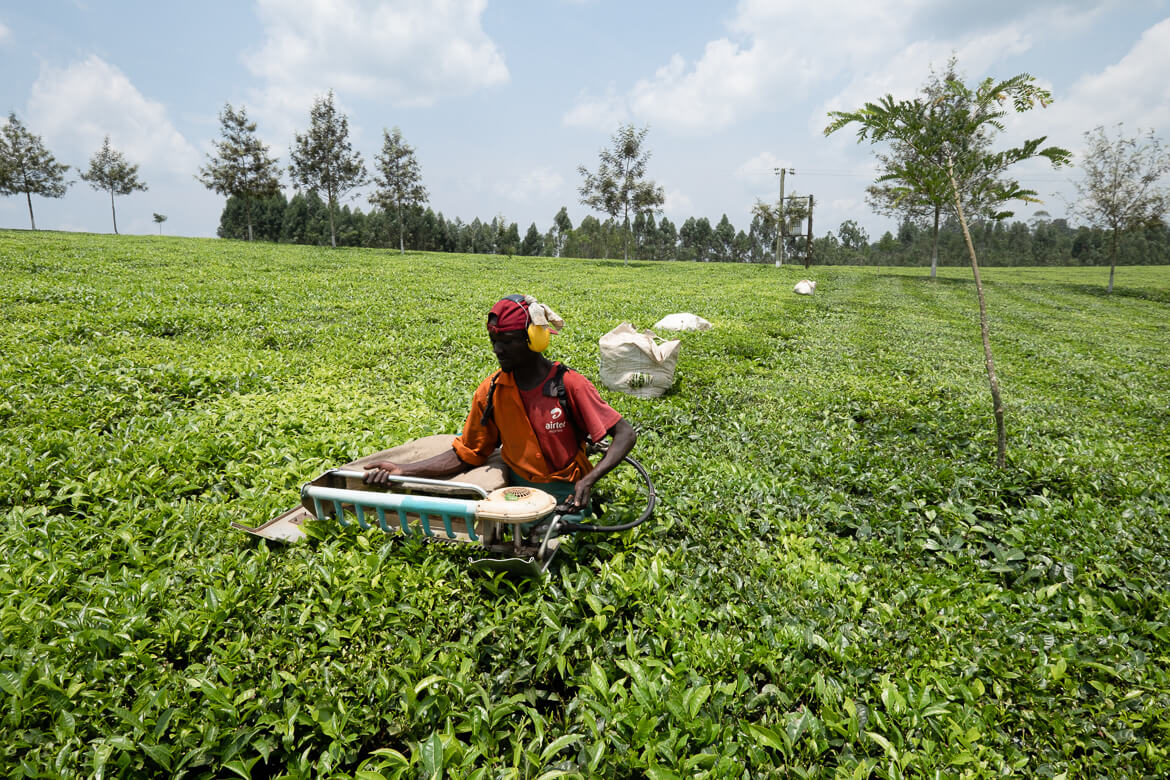 Kiko Tea Estate