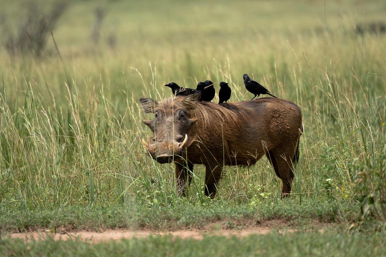 Murchison Falls Uganda warthog