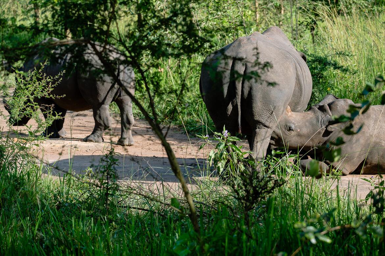 Rhino's in Africa