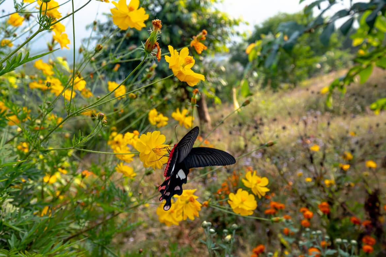 Butterfly Nepal