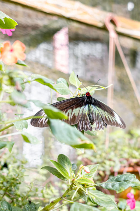 Malaysia Cameron Highlands Bufferfly Farm giant butterflies