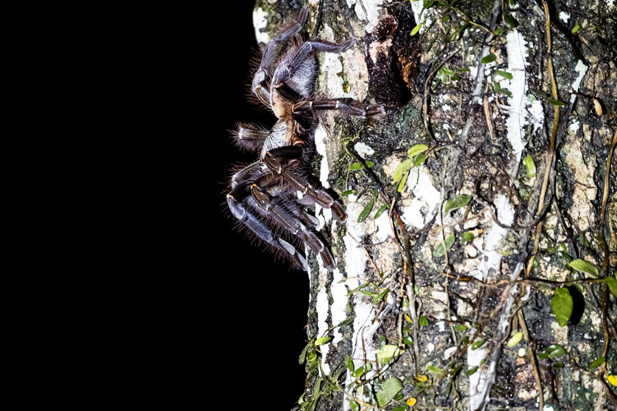 Famous mr. Tarantula Danum Valley Sabah Borneo Malaysia