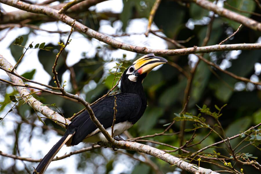 Hornbill Danum Valley Sabah Borneo Malaysia