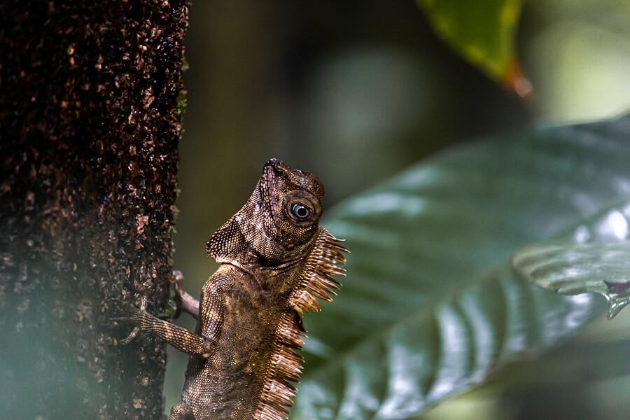 Lizard Danum Valley Sabah Borneo Malaysia
