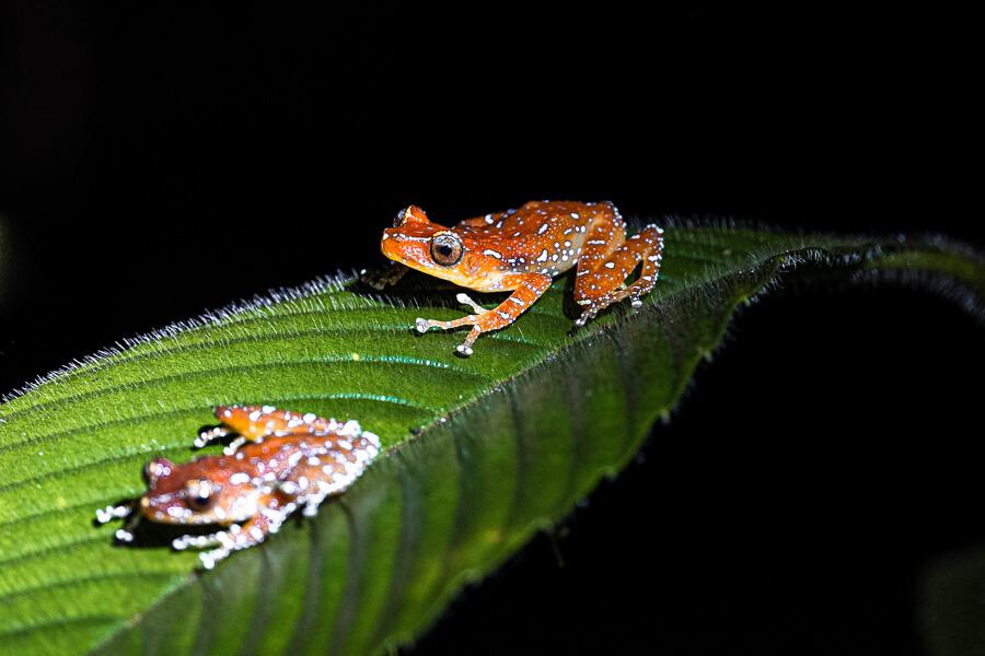 Night Frog Danum Valley Sabah Borneo Malaysia