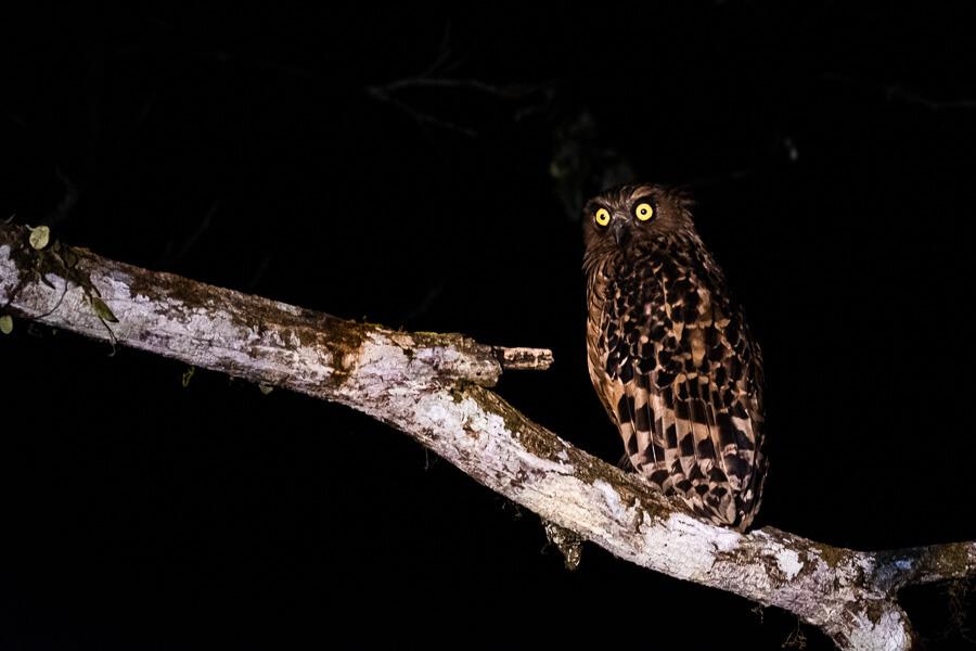 Owl Danum Valley Sabah Borneo Malaysia