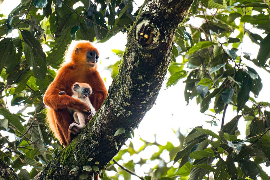 Red leaf Monkeys Danum Valley Sabah Borneo Malaysia