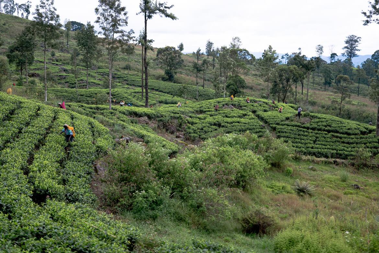 Sri Lanka Tea yards