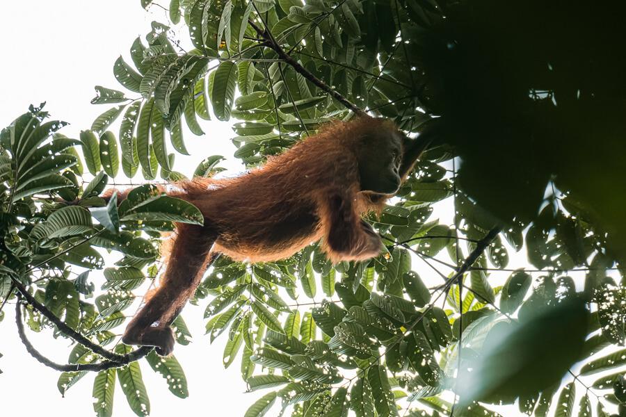 Wild Orangutan Danum Valley Sabah Borneo Malaysia