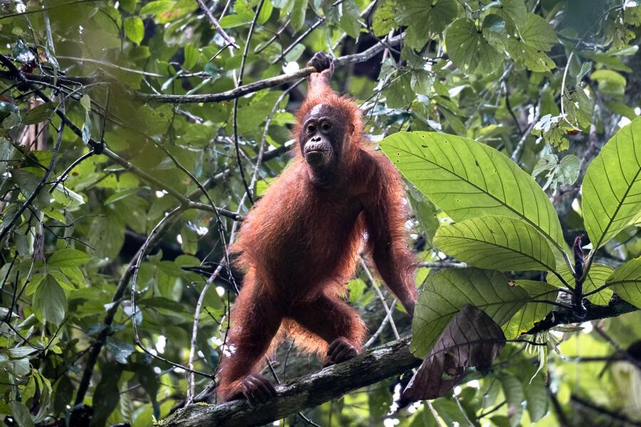 Wild Orangutan in the Danum Valley Sabah Borneo Malaysia