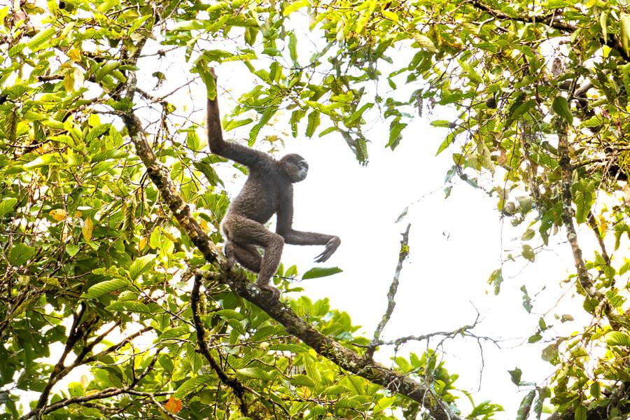 Borneon Gibbon Sabah Borneo Malaysia