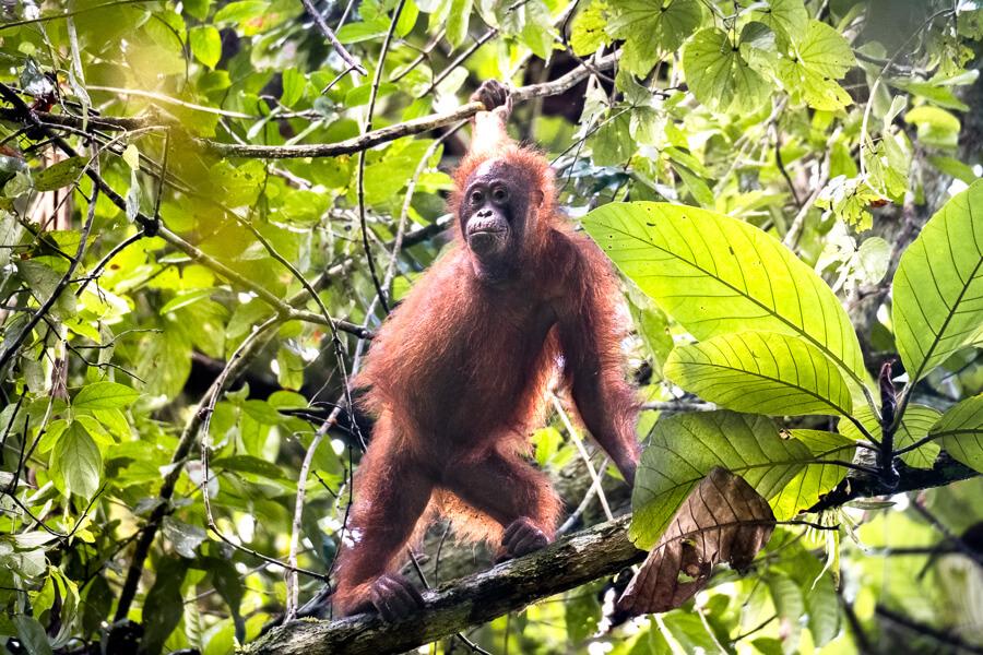 Orangutan Sabah Borneo Malaysia