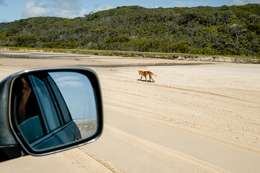 Travel Guide Fraser Island Dingo and 4x4 1