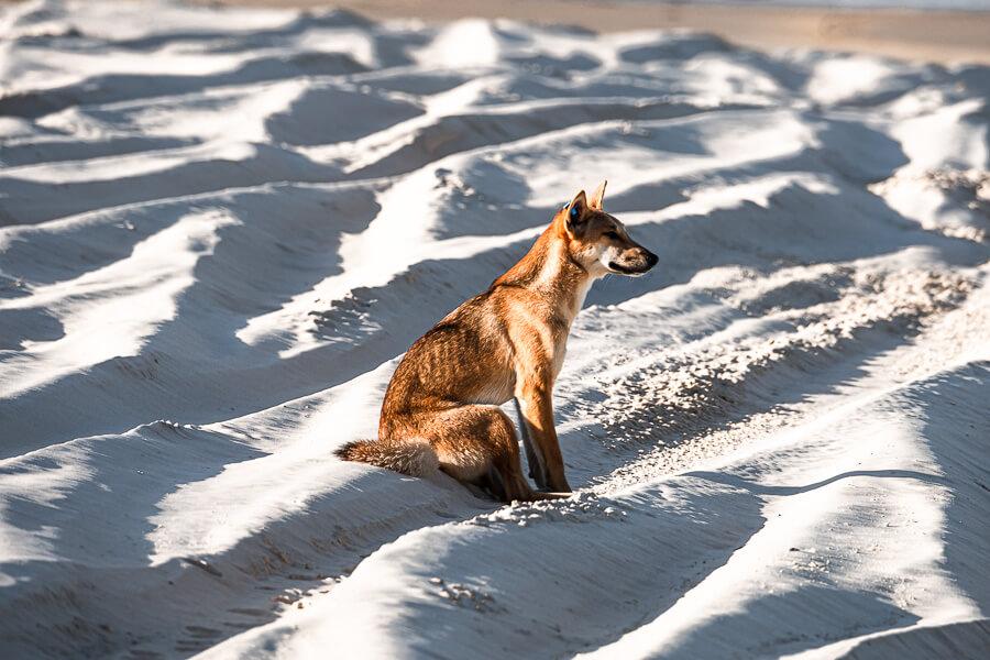 Travel Guide Fraser Island Dingo on the beach
