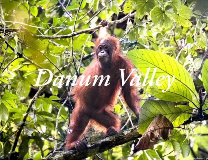 Visit Danum Valley in Borneo: Bornean orangutans and a primary rainforest!