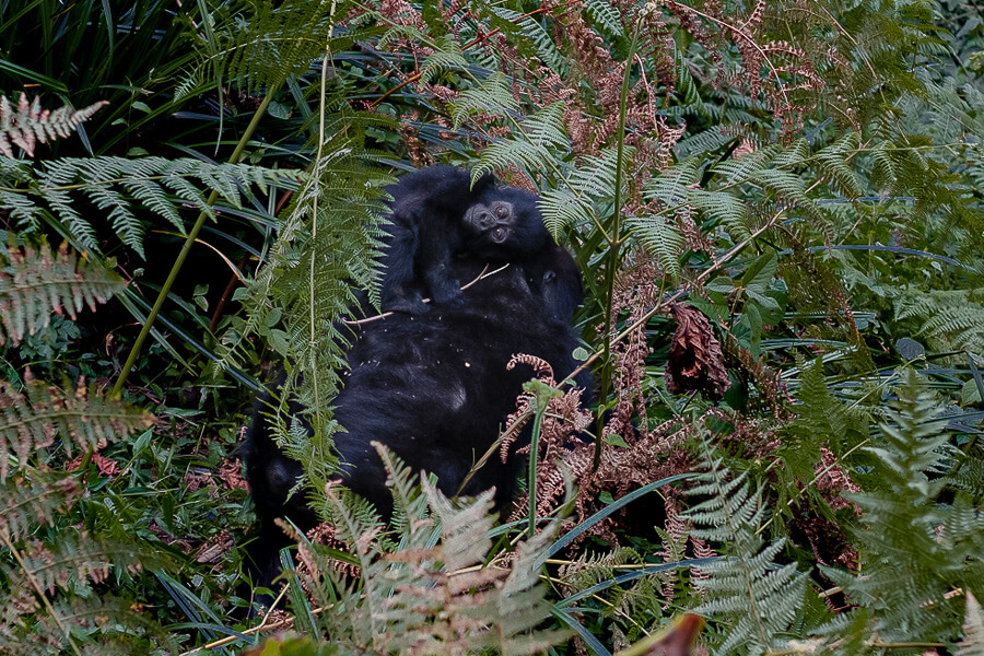 Baby Gorilla wildlife Africa apes