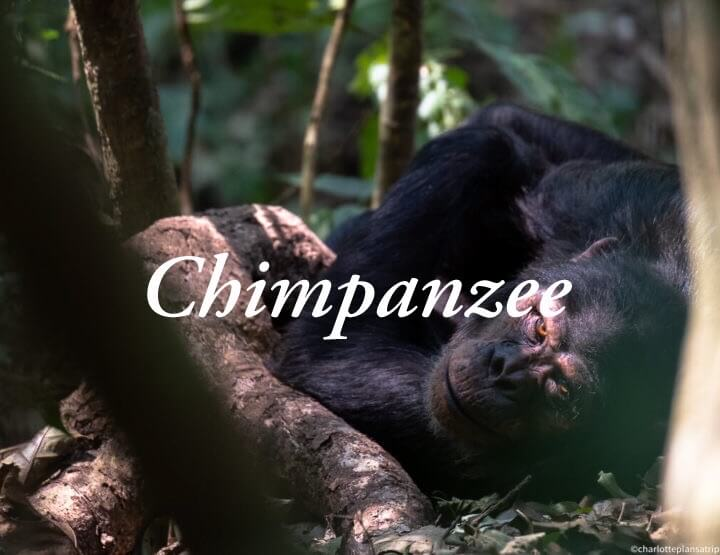 MUST DO: a chimpanzee trekking in Nyungwe Forest in Rwanda!