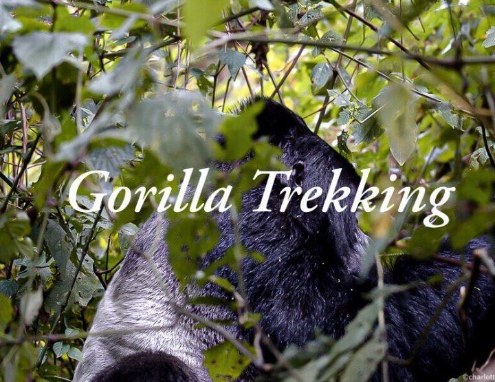 Gorilla trekking Oeganda: Ervaring berggorilla's in het wild bezoeken in Bwindi