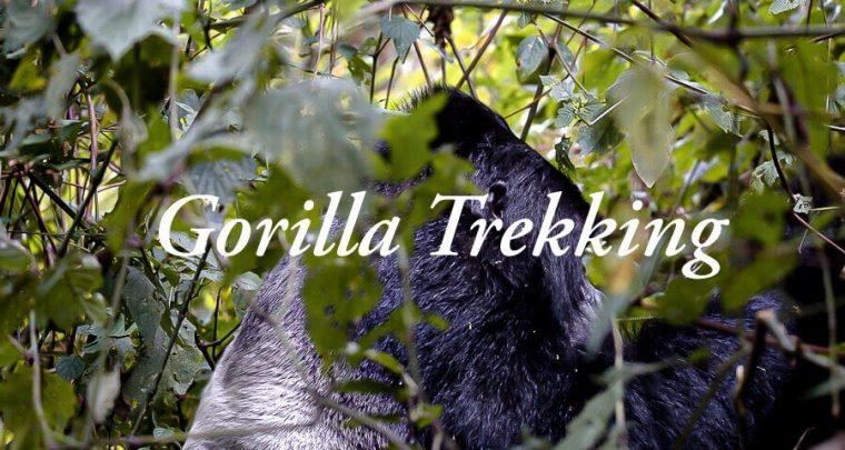 Gorilla trekking Uganda experience: Visiting wild mountain gorillas in Bwindi NP