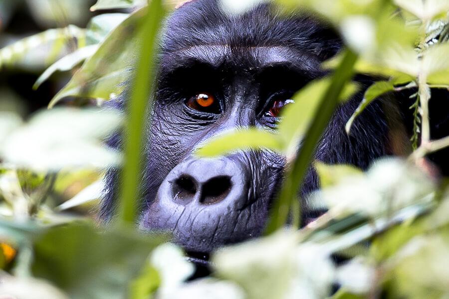 Gorilla trekking east africa close up female gorilla