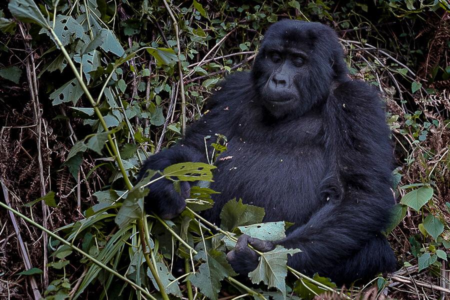 Uganda mountain Gorilla Things to do in Uganda