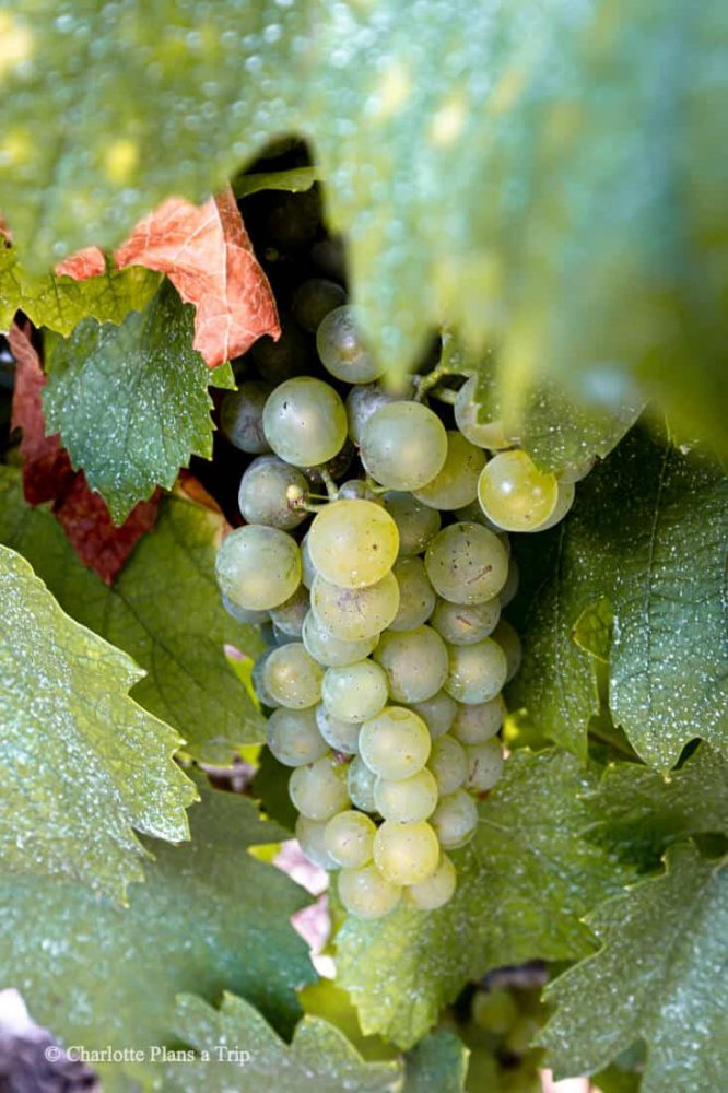 Grapes Harvest vinyards Champagne France