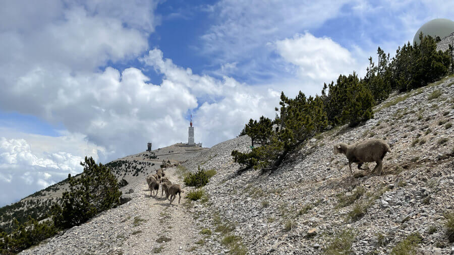 Sheeps and cattle on our way to the summit of Mont Ventoux France